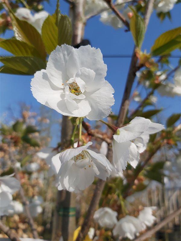 Prunus serr. 'Shirotae'
