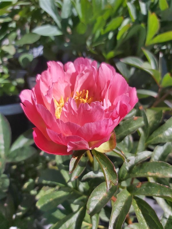 Paeonia (LD) 'Coral Sunset'