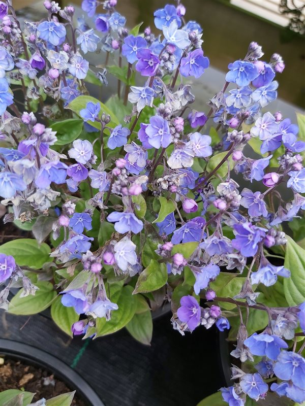 Omphalodes capp. 'Cherry Ingram' picture 2
