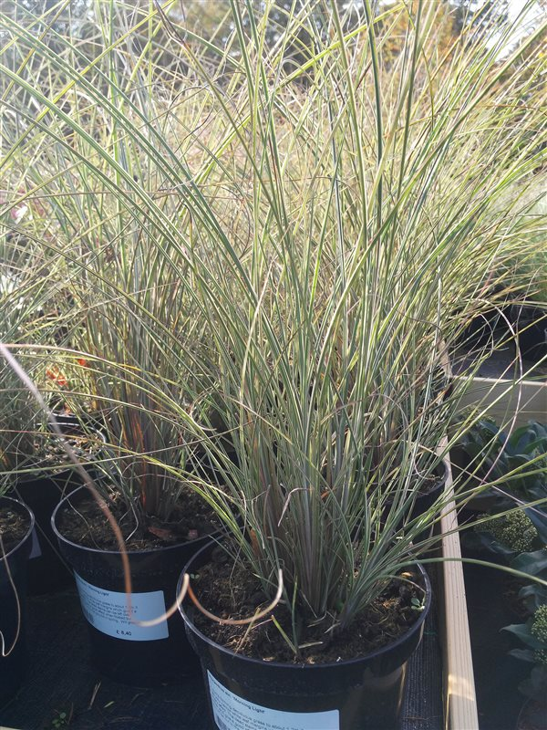 Miscanthus sin. 'Morning Light' picture 2