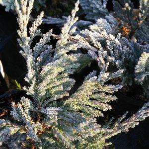 Juniperus hor. 'Blue Chip'