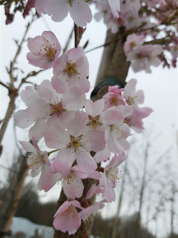 Prunus 'Pandora' picture 3
