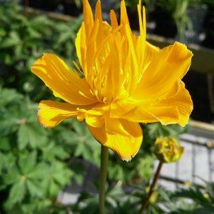 Tiarella 'Spring Symphony'