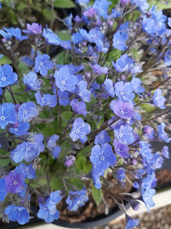 Omphalodes capp. 'Cherry Ingram' picture 3