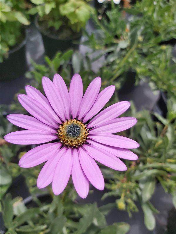 Osteospermum jucundum compactum picture 3
