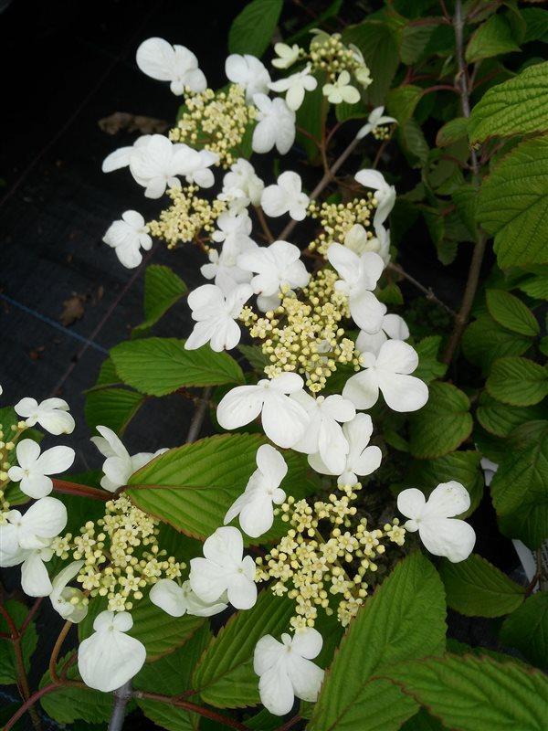 Viburnum plic. 'Mariesii' picture 2
