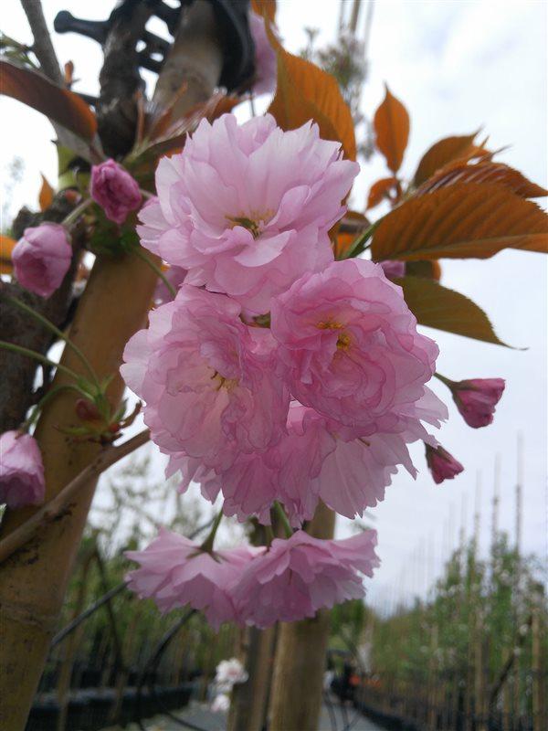 Prunus serr. 'Kanzan' picture 2