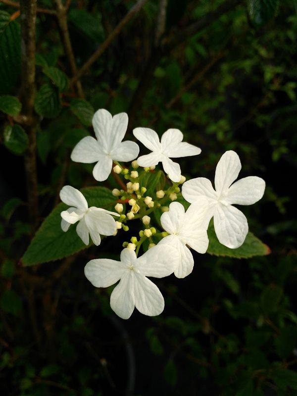 Viburnum plic. 'Summer Snowflake' picture 3