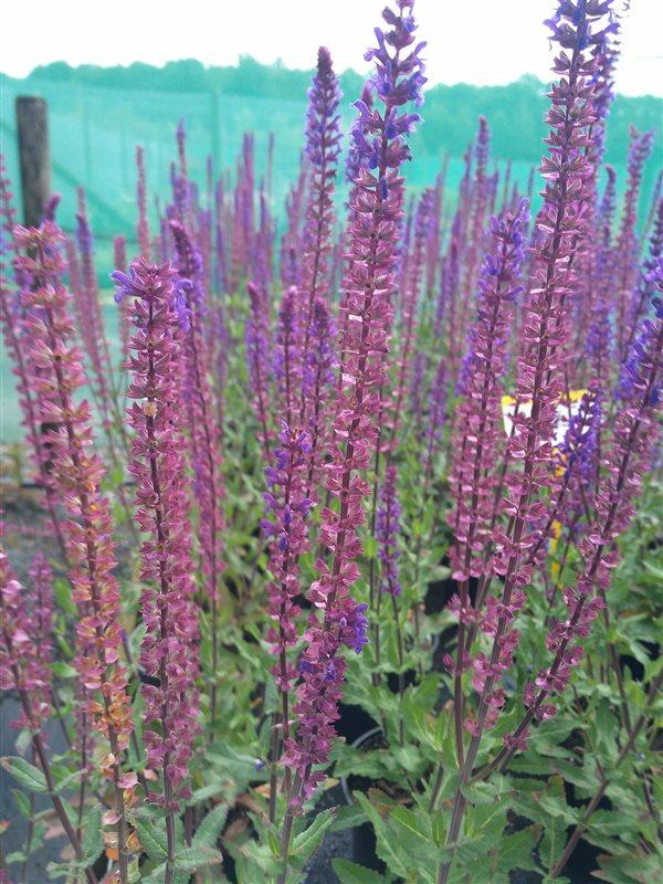 Salvia nemorosa Caradonna picture 4