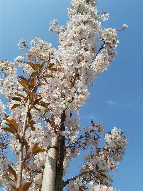 Prunus 'Pandora' picture 4
