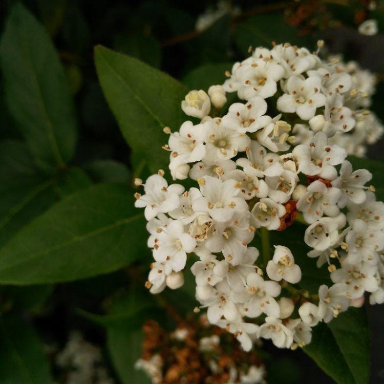 Viburnum tinus 'Eve Price' picture 2