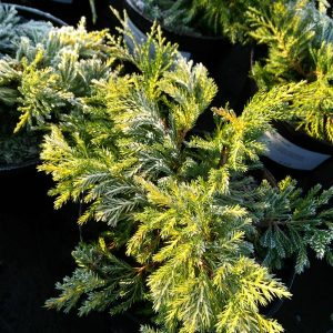 Juniperus pf. 'King of Spring'