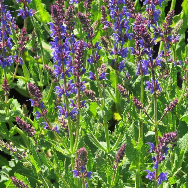 Salvia nemorosa 'Mainacht' picture 3