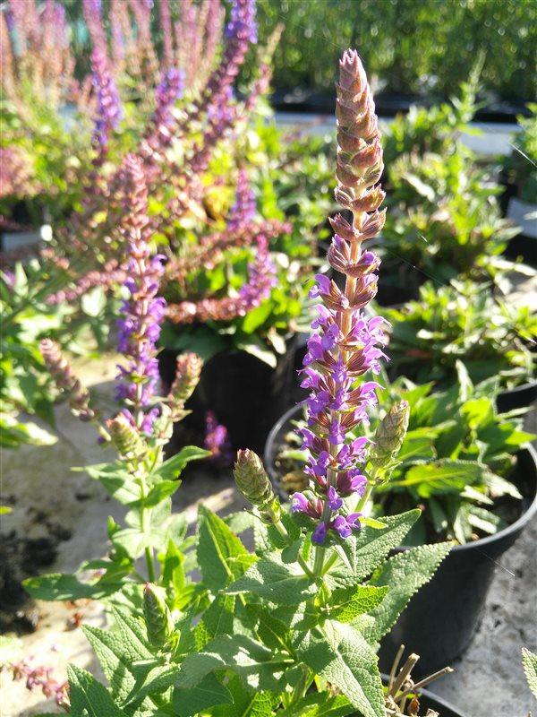 Salvia nemorosa 'Ostfriesland' picture 2