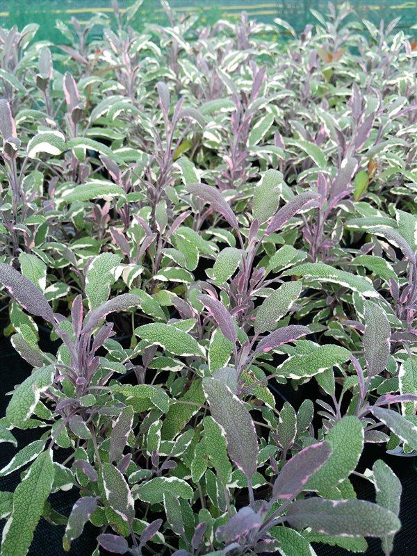 Salvia off. 'Tricolor'