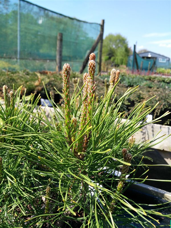 Pinus mugo mugo