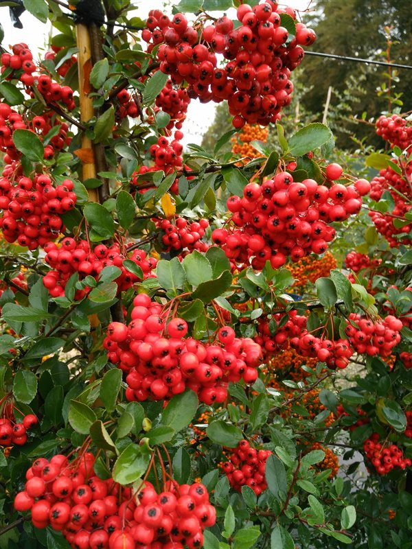 Pyracantha cocc. 'Red Column' picture 2