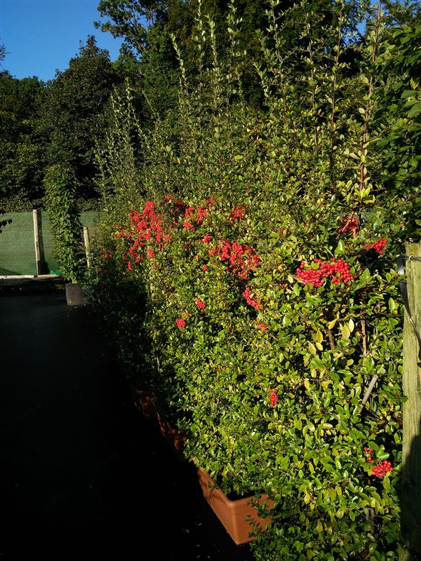 Pyracantha cocc. 'Red Column' picture 3