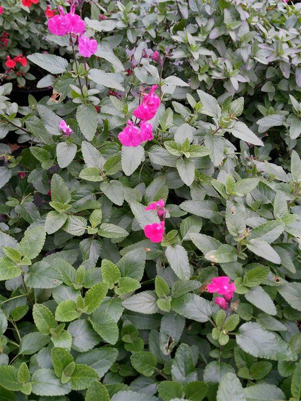 Salvia microphylla 'Cerro Potosi' picture 2