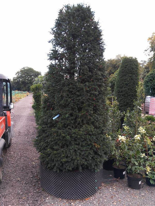 Taxus baccata picture 2