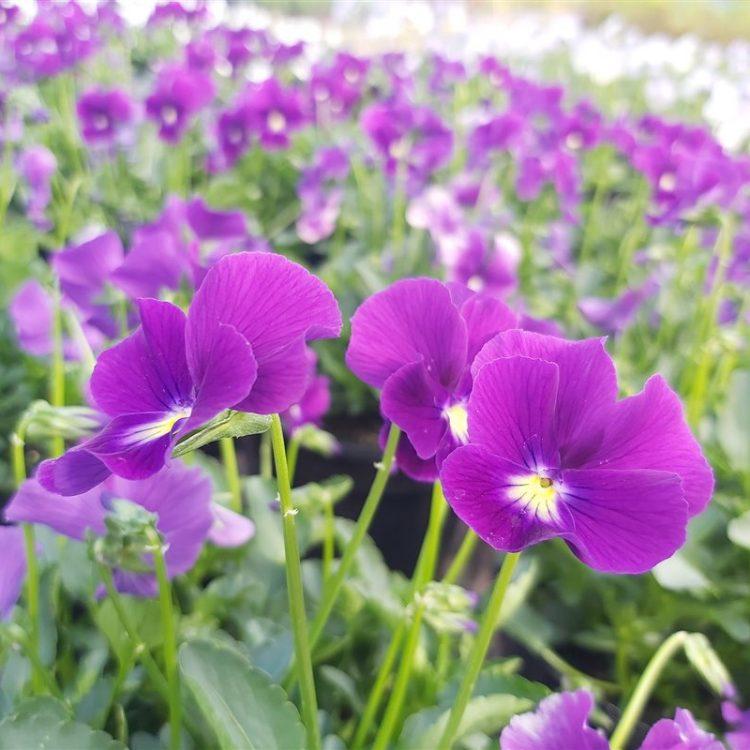 Viola 'Martini' (R) picture 2