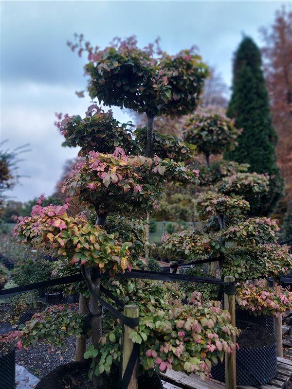 Parrotia persica picture 4