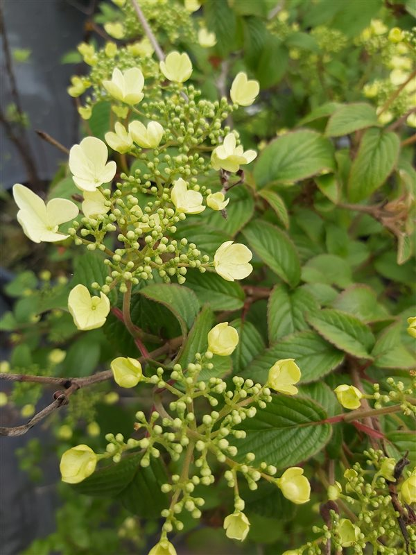 Viburnum plic. 'Summer Snowflake' picture 5