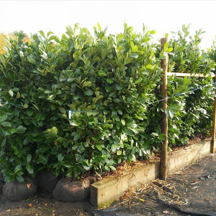 Prunus l. 'Rotundifolia' picture 4