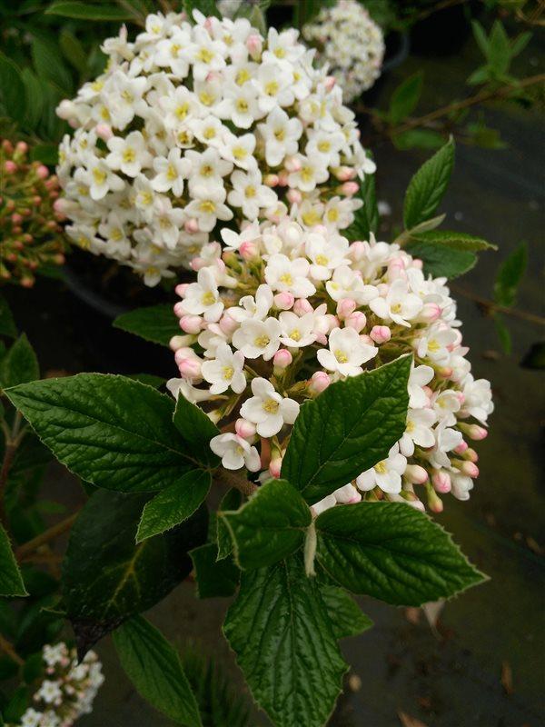 Viburnum burkwoodii* picture 2