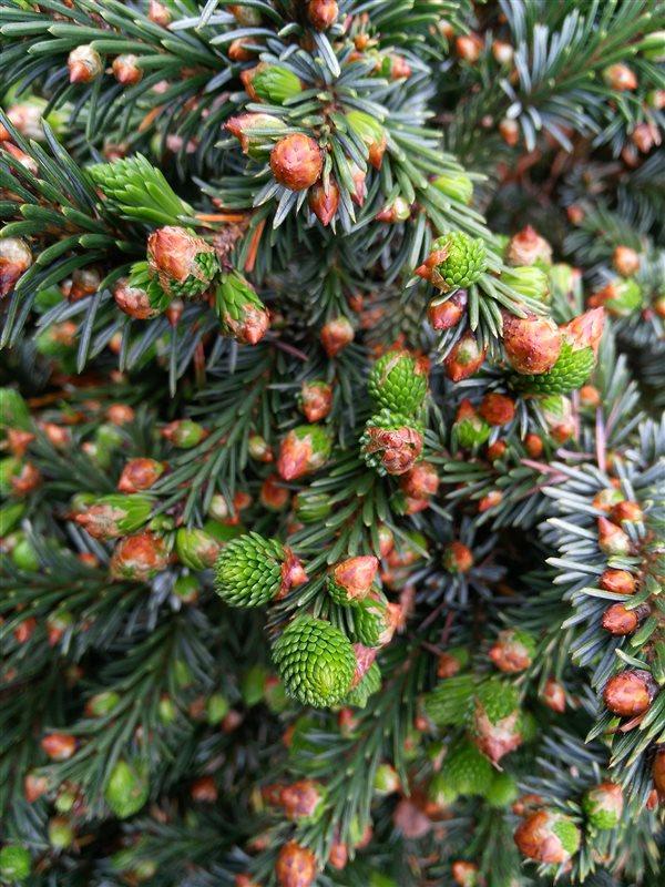 Picea pungens glauca picture 2