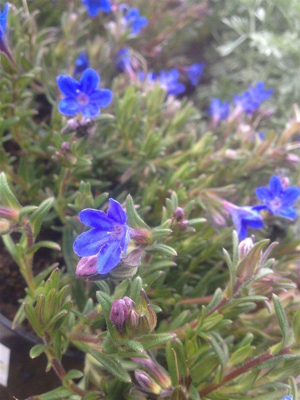 Lithodora d. 'Heavenly Blue' picture 4
