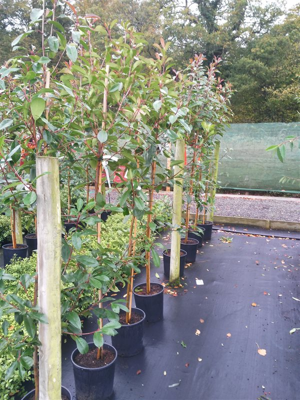Photinia fraseri 'Red Robin' picture 2