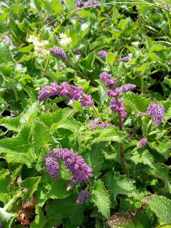 Salvia verticillata Purple Rain
