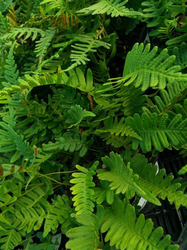 Polypodium vulgare picture 3
