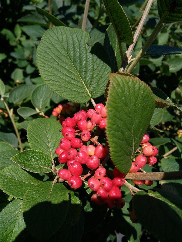 Viburnum lantana picture 4