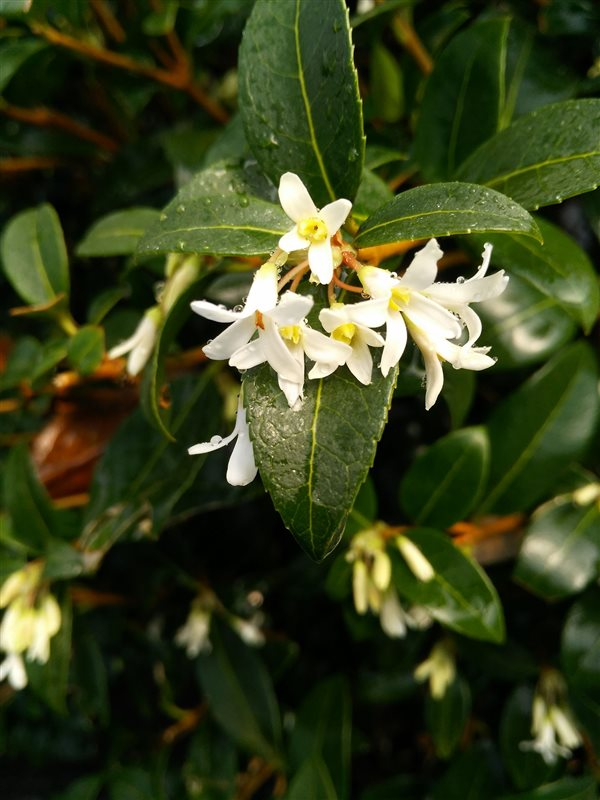 Osmanthus x burkwoodii picture 3