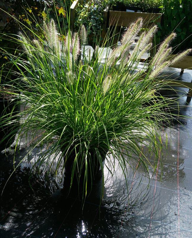 Pennisetum al. 'Hameln' picture 2