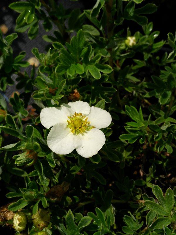 Potentilla f. 'Tilford Cream' picture 2