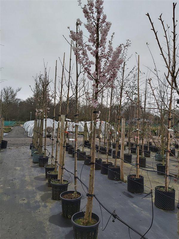 Prunus 'Pandora' picture 2