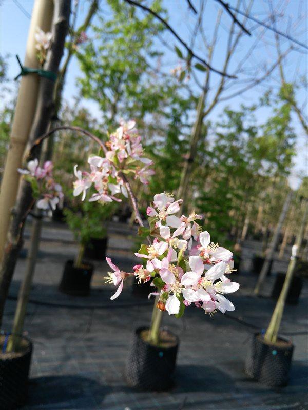 Malus floribunda picture 2