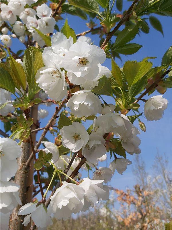 Prunus serr. 'Shirotae' picture 2