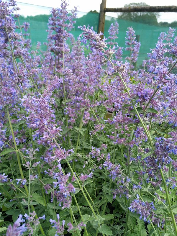 Nepeta 'Six Hills Giant' picture 4