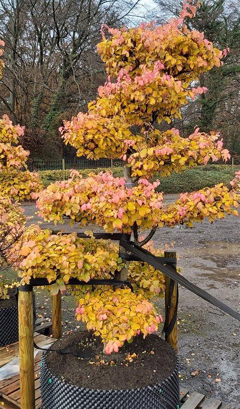 Parrotia persica picture 6