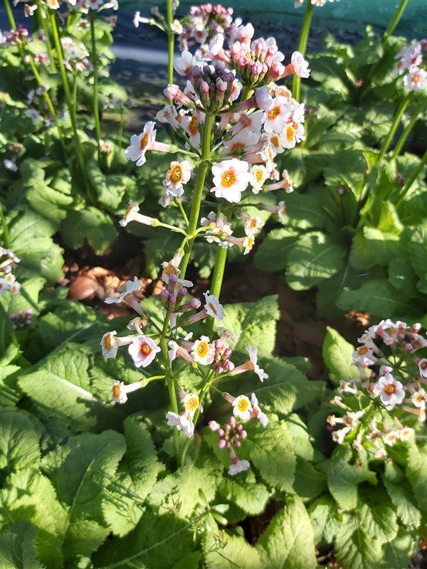 Primula japonica Alba picture 2