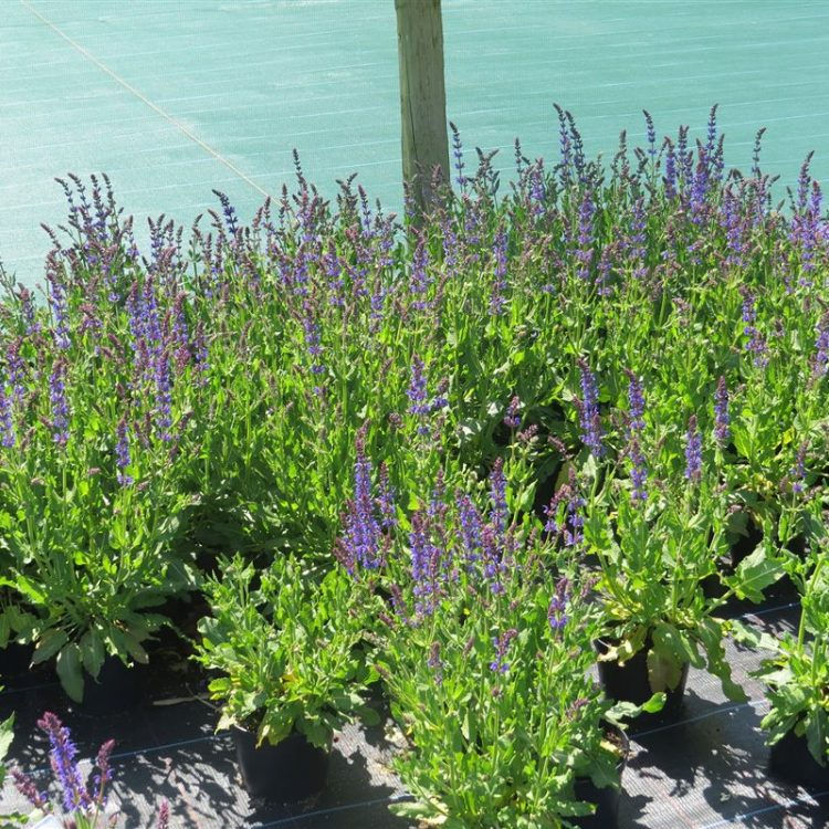 Salvia nemorosa 'Mainacht' picture 4