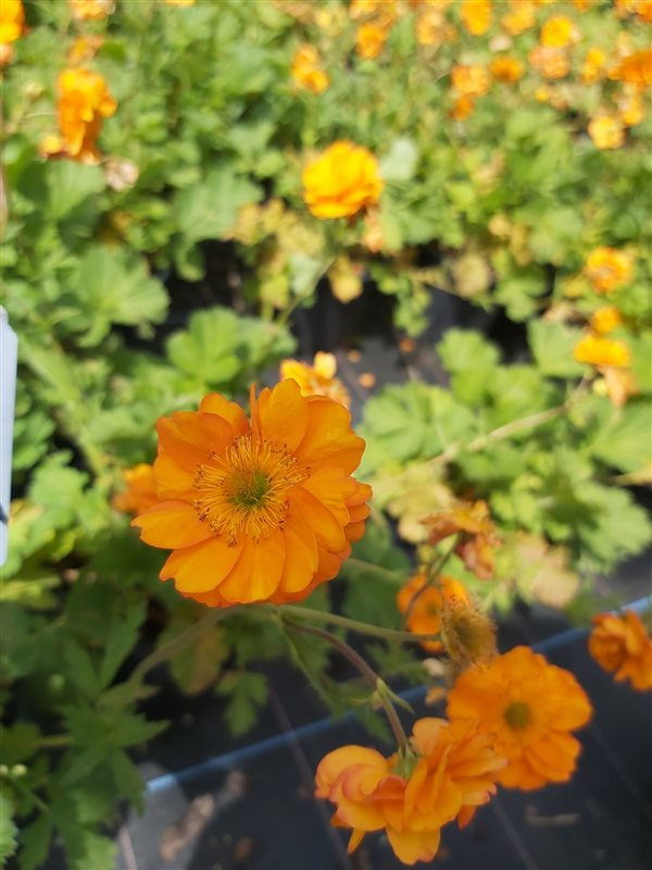 Geum 'Fire Storm' picture 2