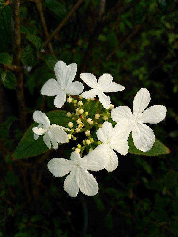 Viburnum plic. 'Summer Snowflake' picture 2