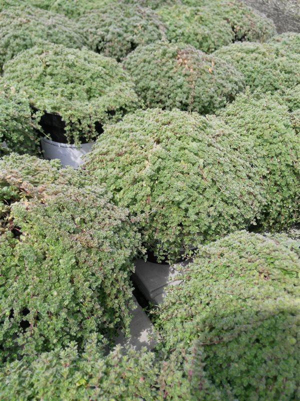 Thymus praecox 'Pseudolanuginosus' picture 3