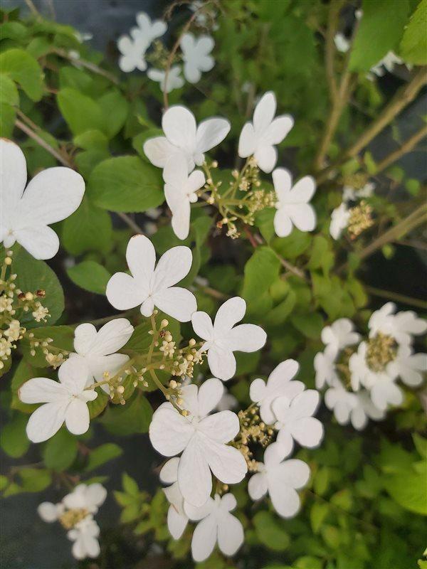 Viburnum plic. 'Summer Snowflake'