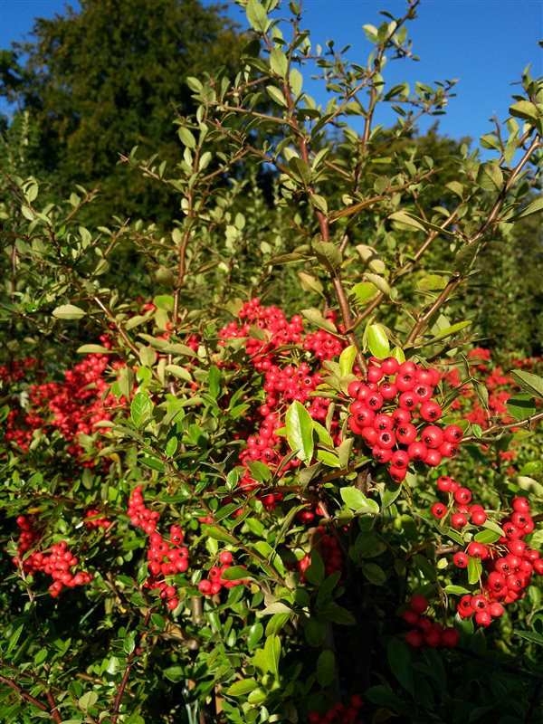 Pyracantha cocc. 'Red Column' picture 4
